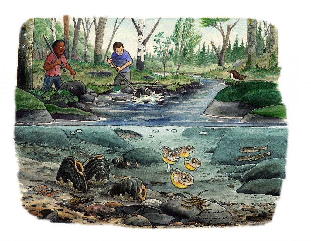 Faktablad om återställande av rensade vattendrag, Naturskyddsföreningen Viva Vatten